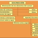 Cuadros sinópticos sobre excreción