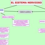 Cuadros sinópticos sobre el Sistema Nervioso