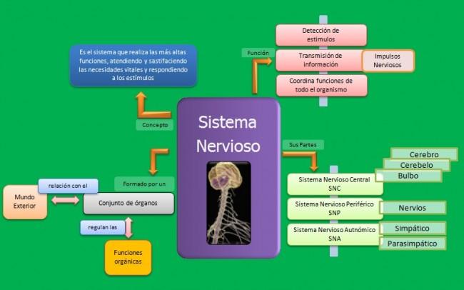 esquema-sistema-nervioso-sus-partes-1