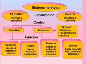 sistema-nervioso-1-638