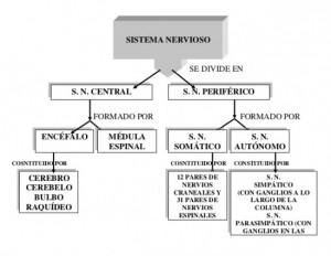 sistema-nervioso-cuadro-sinoptico-1-638