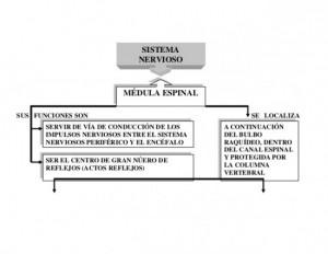 sistema-nervioso-cuadro-sinoptico-4-638