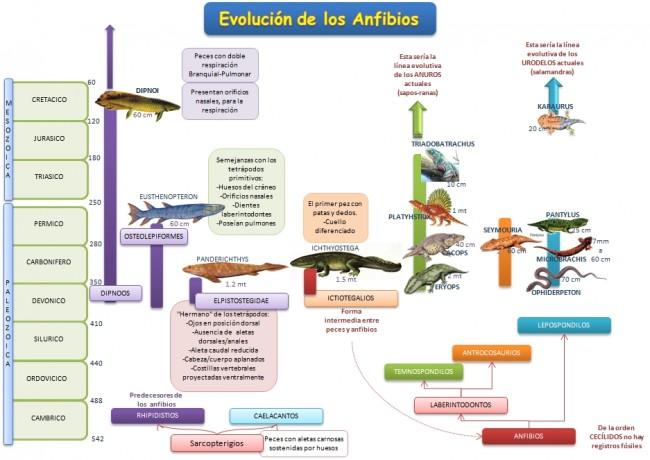 esquema-evolucion-anfibios
