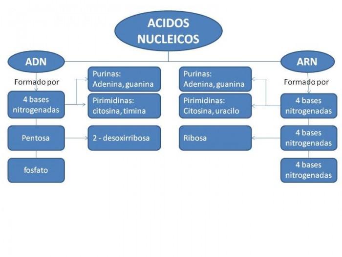 mapa conceptual Acidos Nucleicos
