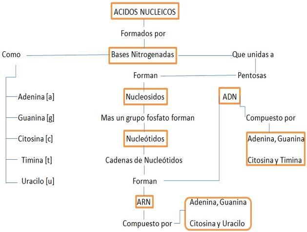 mapa_conceptual_acidos_nucleicos