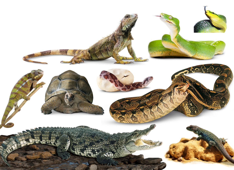 Q Son Los Reptiles Cuadros sinóptico...
