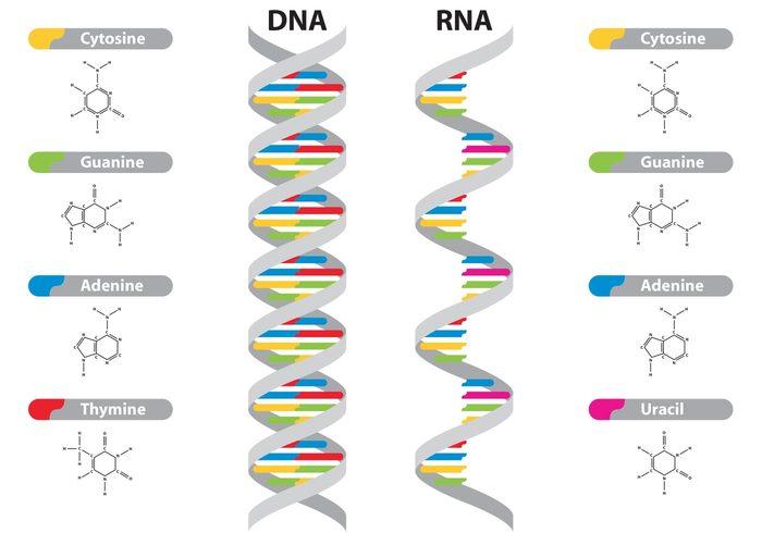 diferenciasdna-rna-vectors