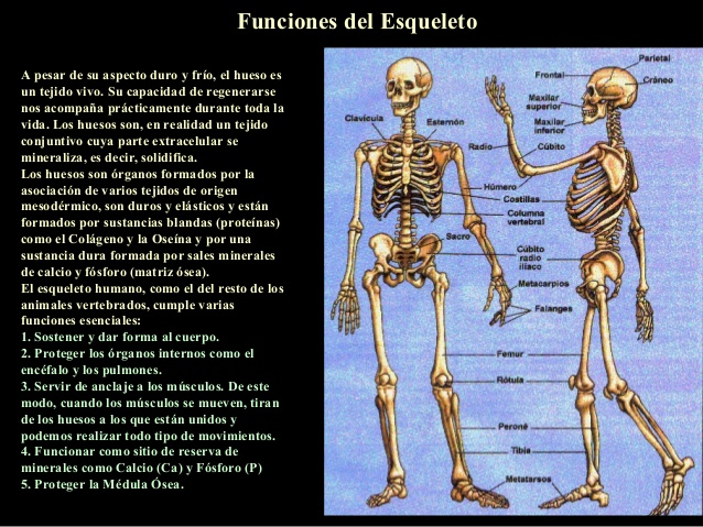 esqueleto-humano-5-638