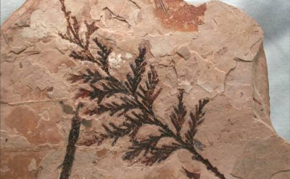 fosilespicture