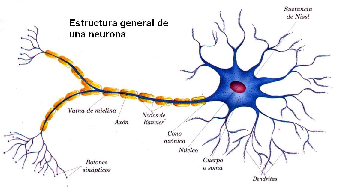 Cuadros sinpticos y mapas conceptuales sobre las neuronas