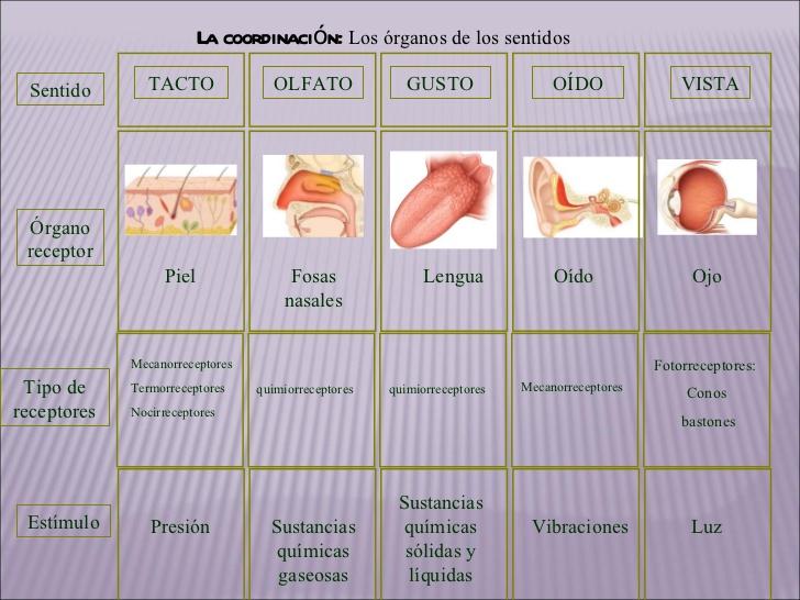 sentidosfuncin-de-relacin-y-coordinacin-28-728