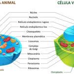 Cuadros sinópticos sobre células vegetales y animales