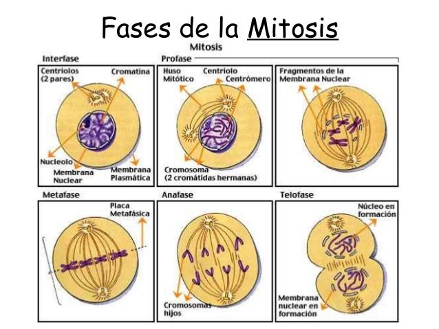 meiosisEsquema-fases-de-la-mitosis