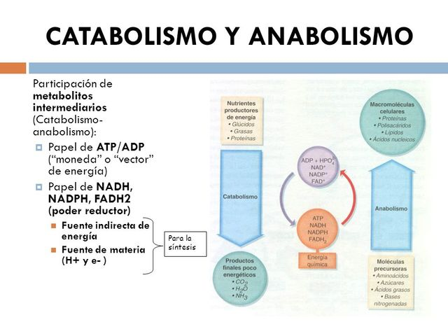 rutas anabolicas de las proteinas