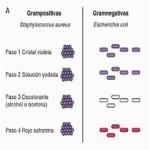 Cuadros comparativos entre Bacterias Gram positivas y Gram negativas
