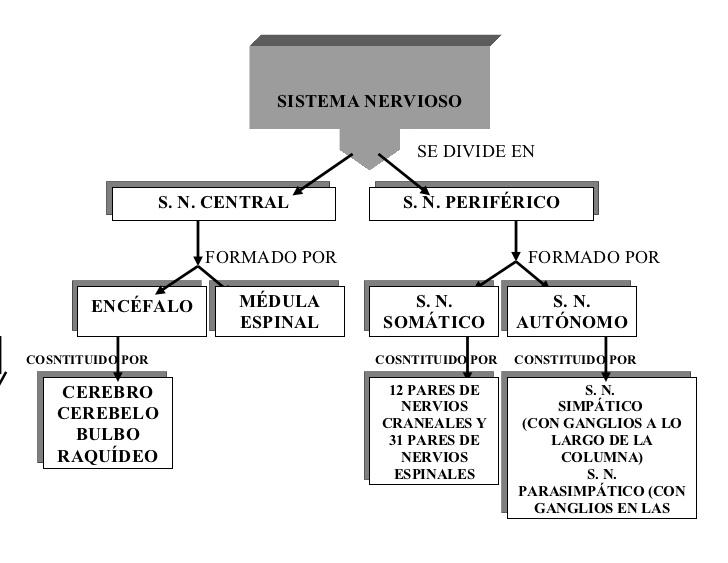sistema-nervioso-cuadro-sinoptico-1-728