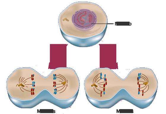 Cuadros sinpticos sobre la reproduccin celular  Cuadro Comparativo