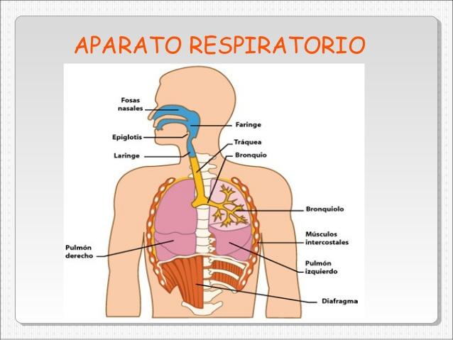 Profundizaneill2: EL SISTEMA RESPIRATORIO (3º de primaria)
