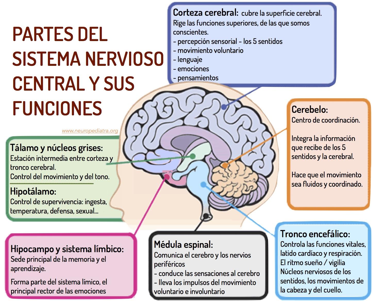 nervioso-central