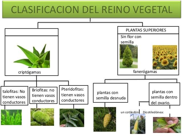 Cuadros sinópticos sobre reino vegetal o reino plantae  Cuadro