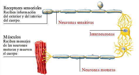 interneurona