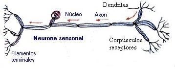 Cuadros comparativos entre las neuronas motoras y sensitivas