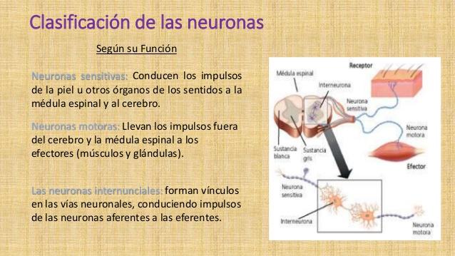 neurona-y-neurotransmisores-keilyng-bastidas-7-638