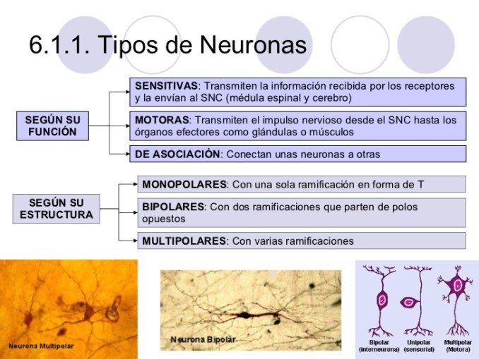 tejidos-animalesii-muscular-y-nervioso-17-728