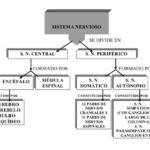 Cuadros comparativos y sinópticos sobre sistema nervioso y endocrino