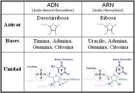 acidocuadro_comparativo_entre_adn_y_arn_598648_t0