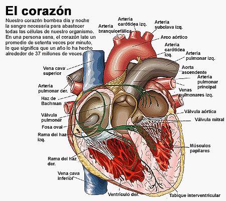 LAS VALVULAS DEL CORAZON6