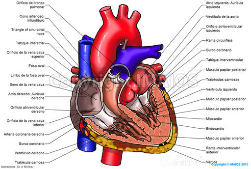 atlas-of-anatomy-of-the-human-heart_medical512