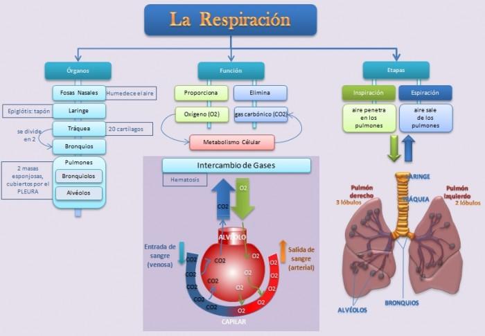 esquema-respiracion-alveolo
