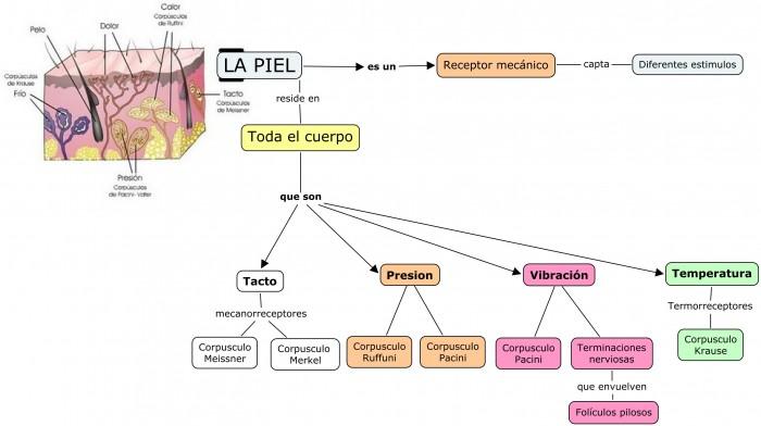 Cuadros sinópticos sobre la piel | Cuadro Comparativo