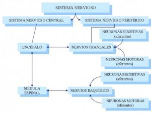 CUADRO-SINOPTICO-SISTEMA-NERVIOSO