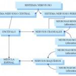 Cuadros sinópticos sobre el Sistema Nervioso Central y Periférico