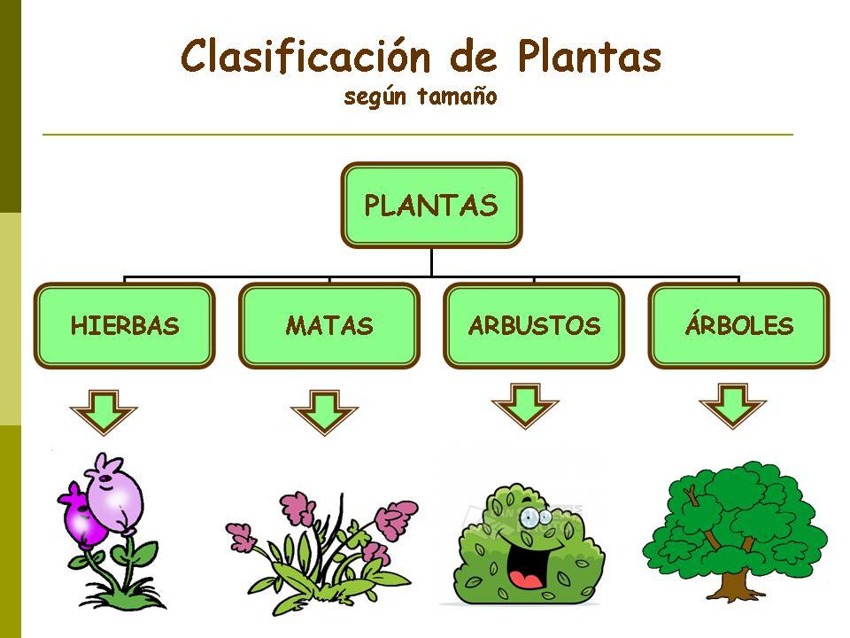 Cuadros sin pticos sobre las plantas clasificaci n y for Cuantos tipos de arboles hay en el mundo