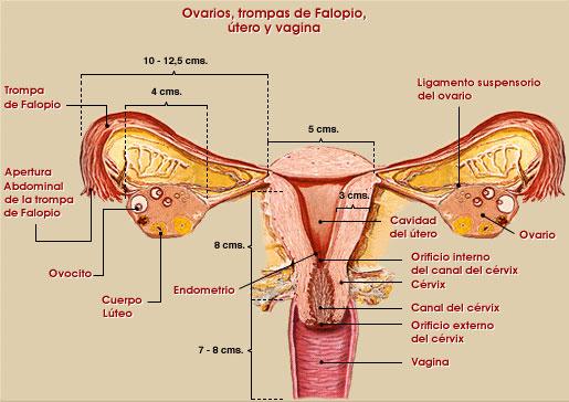 mapas mentales y cuadros sinópticos sobre el aparato reproductor