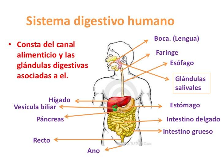Cuadros sinópticos sobre el aparato digestivo | Cuadro Comparativo