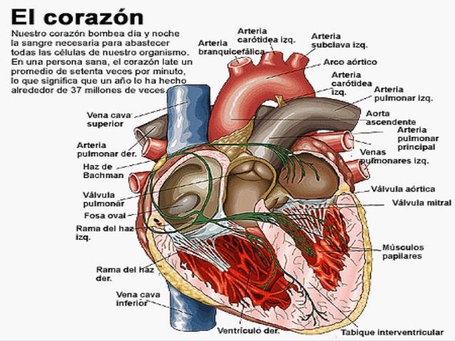 imageaparato-circulatorio-7-638