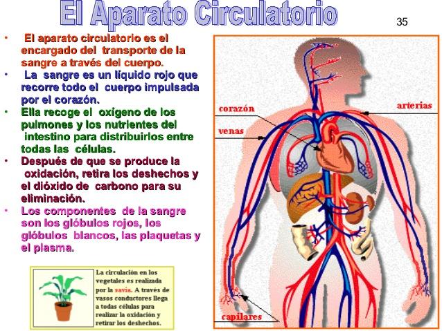imageaparato-circulatorio-completo-35-638