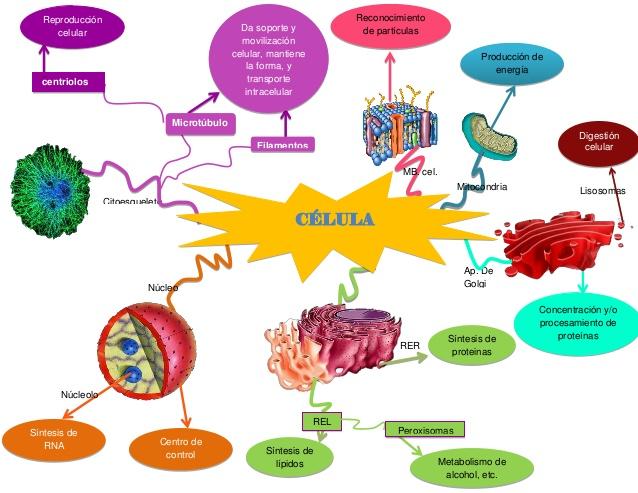 mapa-mental-de-organelos-celulares-1-638