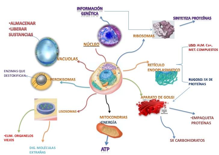 Mapas mentales y cuadros sinópticos sobre las células y sus ...