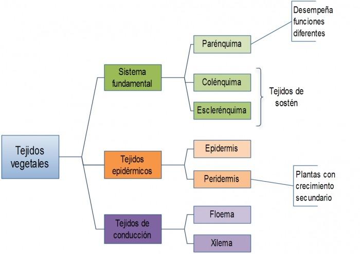 tejidos_vegetales