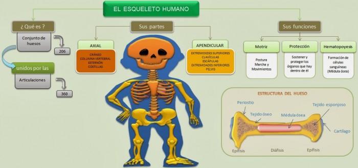 el-esqueleto-humano-esquema