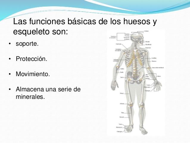 Cuadros sinópticos del esqueleto humano y sus funciones: Imágenes ...