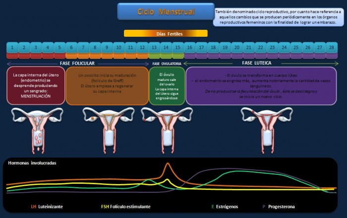 esquema-ciclo-menstrual