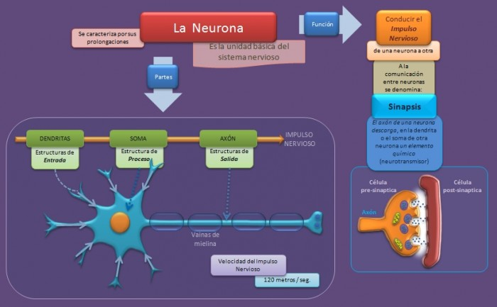 esquema-neurona