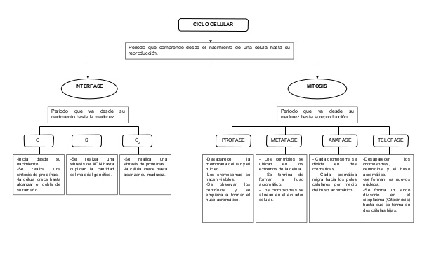 mapa-conceptual-ciclo-celular-1-638
