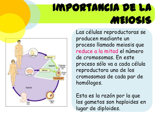 masreproduccin-celular-divisin-celular-mitosis-meiosis-31-638